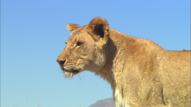 CU African lioness looks intently then turns and walks away