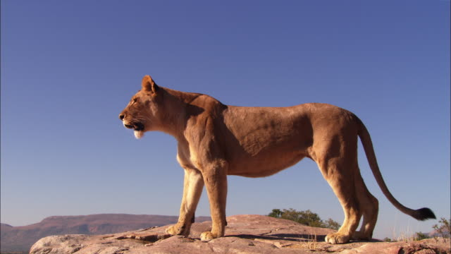 vidéos et rushes de ms african lioness looks out intently from top of rocky outcrop - outcrop