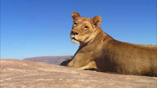 vidéos et rushes de african lioness lying on rocky outcrop looks around intently then stands up looks over edge and sits down - outcrop