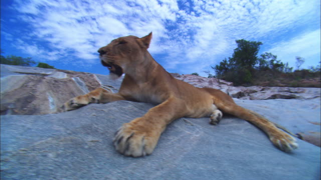 vidéos et rushes de ms african lioness lying on rocky outcrop track in to cu - outcrop