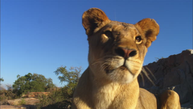 vidéos et rushes de african lioness lying on rocky outcrop very close to camera looks around intently then stands up and walks away - outcrop