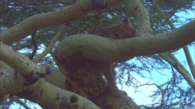 ms african lioness lying on tree branch trying to sleep - löwe großkatze stock-videos und b-roll-filmmaterial