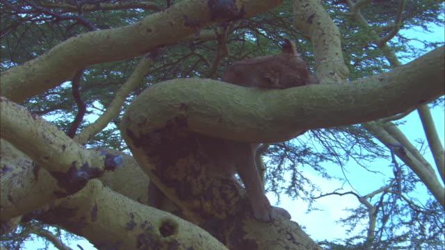 vídeos y material grabado en eventos de stock de ms african lioness lying on tree branch trying to sleep - felino grande