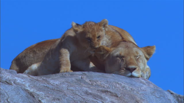 vidéos et rushes de cu african lioness on rock with cub climbing on her and chewing her ear - outcrop