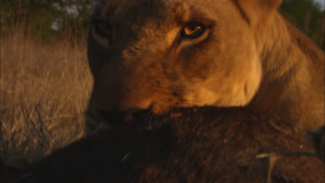 ecu african lioness pulling at wildebeest carcase very close to camera pan from claws to face - klaue stock-videos und b-roll-filmmaterial
