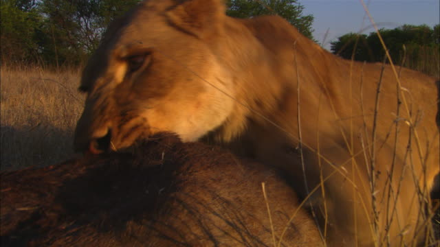 cu african lioness pulling at wildebeest carcase very close to camera showing claws - klaue stock-videos und b-roll-filmmaterial