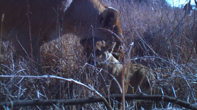 stockvideo's en b-roll-footage met cu african lioness pulls up cub in her mouth and moves it in long grass very close to camera  - kleine groep dieren