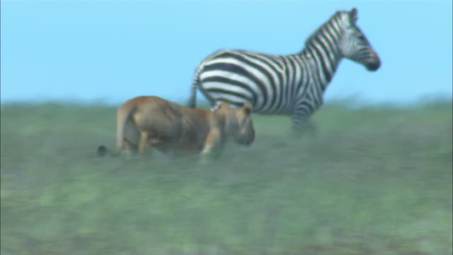 African lioness runs from camera at zebra and they stampede