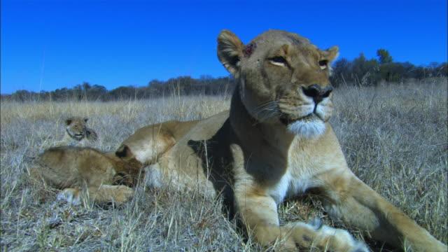 vídeos de stock, filmes e b-roll de ms african lioness sits very close to camera and cub walks up to her to suckle then she moves away - grupo pequeno de animais