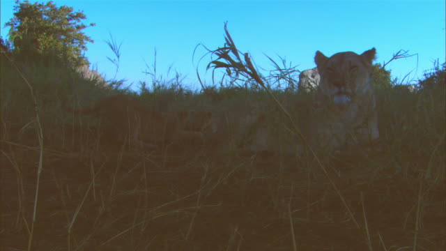 stockvideo's en b-roll-footage met ms african lioness sitting in long grass with several young cubs playing with her tail zi to cubs playing in morning light - vier dieren