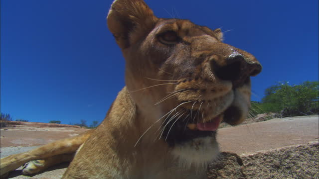 vidéos et rushes de la ecu african lioness sitting on rocky outcrop - outcrop