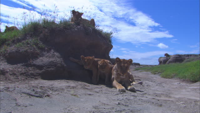 vídeos de stock e filmes b-roll de ws african lioness sleeping in dry riverbed with 2 young cubs squabbling behind her  - grupo médio de animais