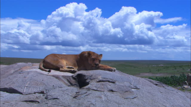 vídeos de stock e filmes b-roll de ms african lioness sleeping on rock with grassland in background - deitar se