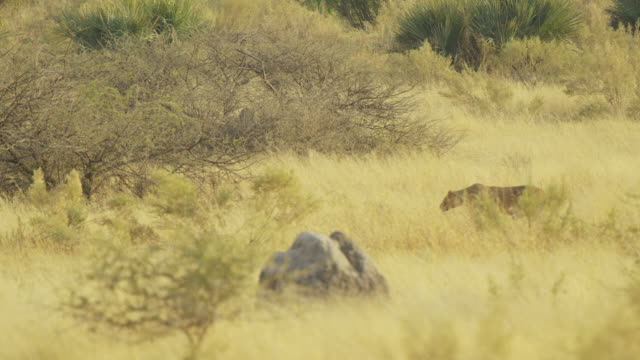 ws pan african lioness stalking then chasing warthog - escaping stock videos & royalty-free footage