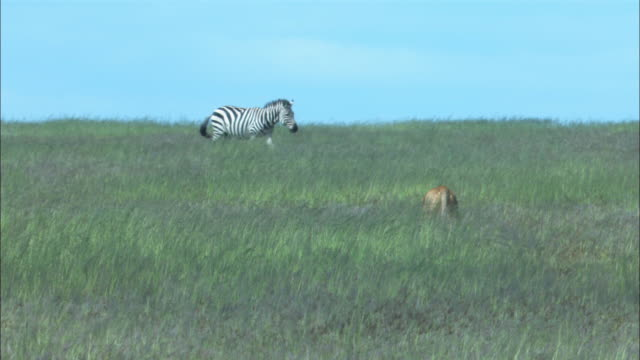 ms african lioness stalking zebra through long grass away from camera - シマウマ点の映像素材/bロール