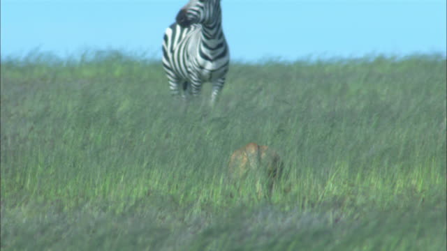 MS African lioness stalking zebra through long grass away from camera