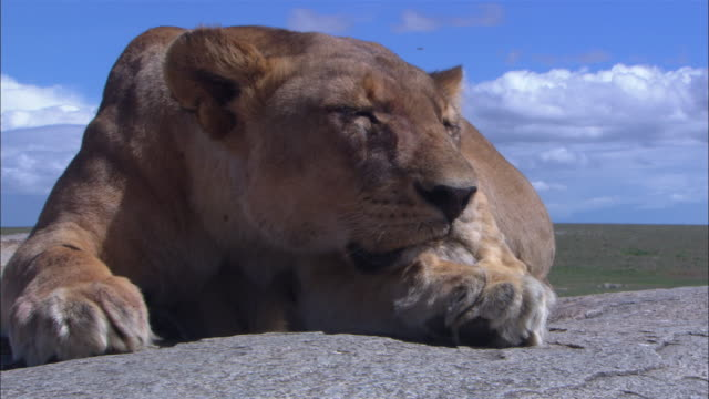 CU African lioness very close to camera sleeping on her paws