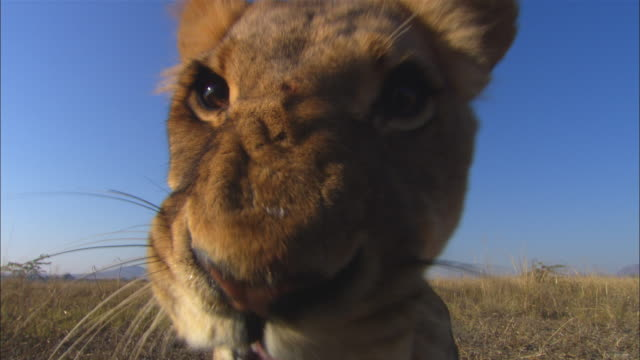 ECU African lioness very close to camera snarls and breathes on lens and fogs it