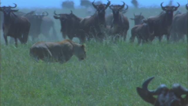 african lioness walking through grass with stampeding wildebeest herd in background - stampeding stock videos & royalty-free footage