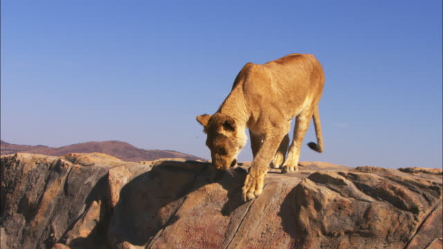 MS African lioness walks across rock then climbs down in profile