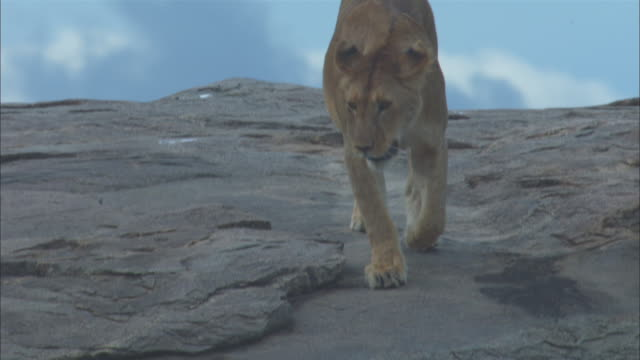 african lioness walks across rocky outcrop towards camera - outcrop stock videos & royalty-free footage