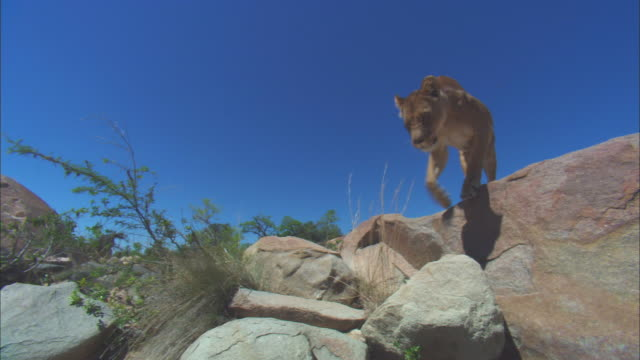vidéos et rushes de la african lioness walks down rocky outcrop and passes very close to camera - outcrop