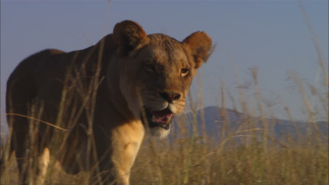 la pan african lioness walks intently to camera passing very close - 女性像点の映像素材/bロール