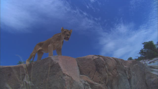 vidéos et rushes de la african lioness walks on rocky outcrop and passes very close to camera - outcrop