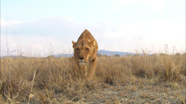 vidéos et rushes de ms african lioness walks up to camera looking intent zo to ws as she goes into stalking pose - fondu d'ouverture