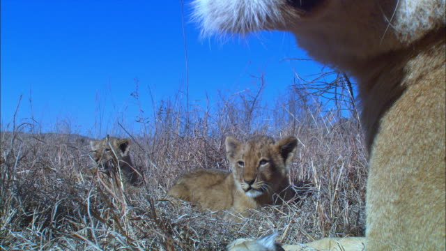 stockvideo's en b-roll-footage met cu african lioness with 2 cubs looks around in long grass very close to camera  - kleine groep dieren