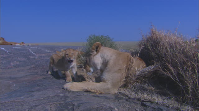 ms african lioness with cubs sits down on rocky outcrop - outcrop stock videos & royalty-free footage