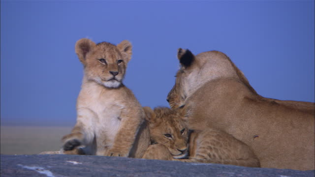 CU African lioness with cubs sleeping and rolling around on rock outcrop