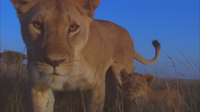 African lioness with cubs walks up to camera and looks intently into lens