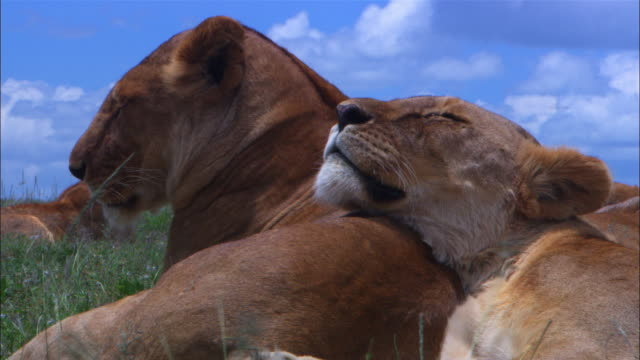 vídeos de stock e filmes b-roll de cu 2 african lionesses in profile sleeping with one resting her head on the shoulder of the other - deitar se