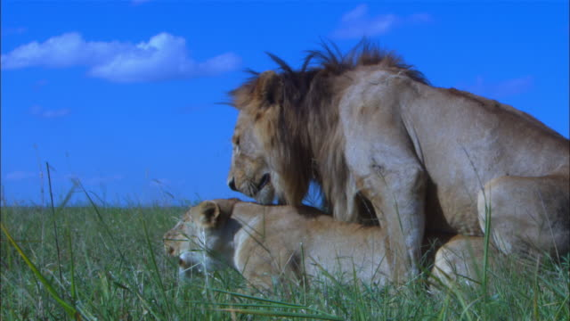vidéos et rushes de cu african lions mating in profile in long grass they snarl as they separate pan with male  - accouplement lion