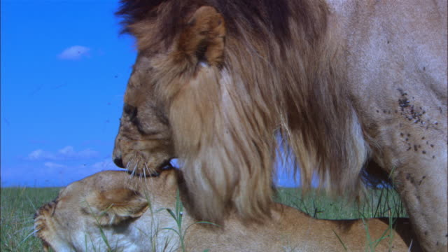 cu african lions mating in profile in long grass they snarl as they separate pan with male  - 歯をむく点の映像素材/bロール