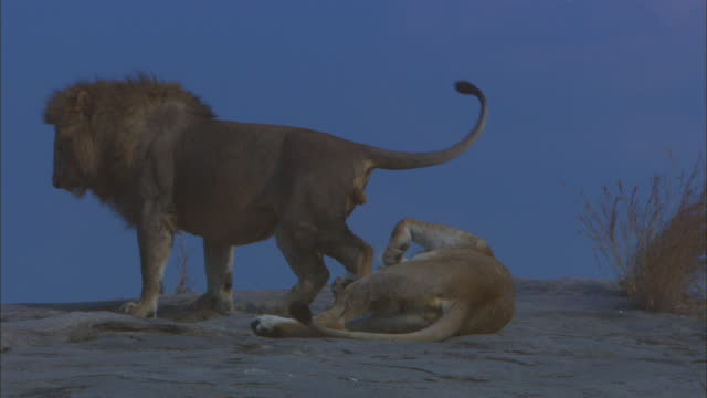 vidéos et rushes de ms african lions mating in profile on rocky outcrop then break and roll around - accouplement lion
