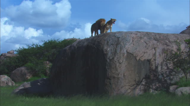 WS African lions mating on rocky outcrop ZI to MS