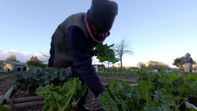 african male collects spinach from the vegetable garden - crop stock videos & royalty-free footage