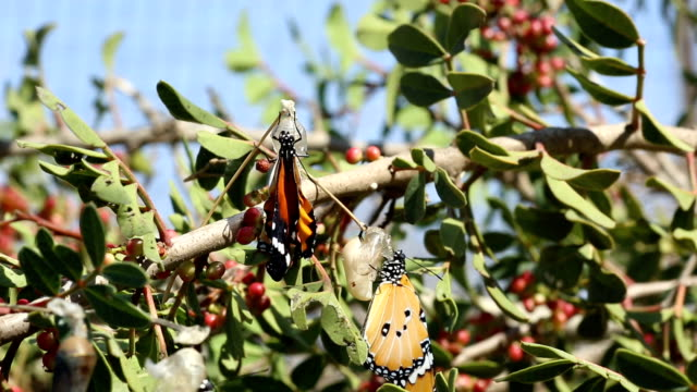 african monarch butterfly on aplant - 40 o più secondi video stock e b–roll