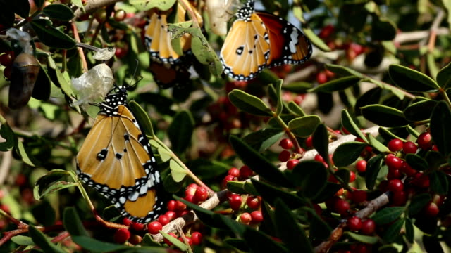 African Monarch butterfly on aplant