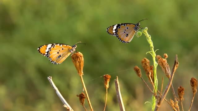 african monarch (danaus chrysippus), israel - animal markings stock videos & royalty-free footage