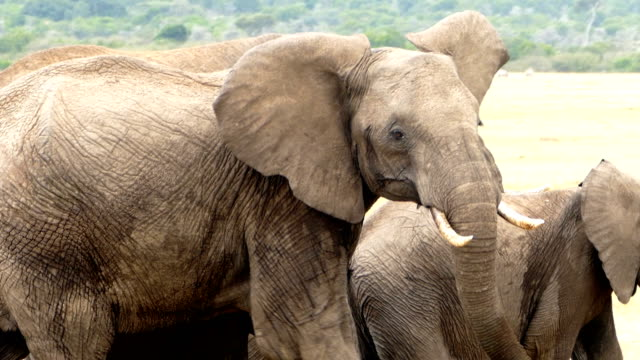 african mother elephant - dangerous condition - animals in the wild stock videos & royalty-free footage