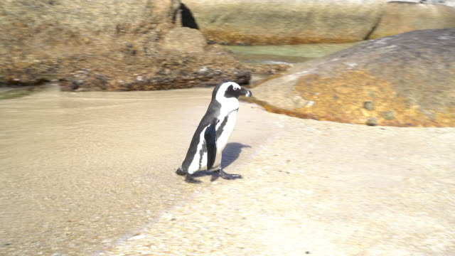 african penguin at boulders beach - masso video stock e b–roll