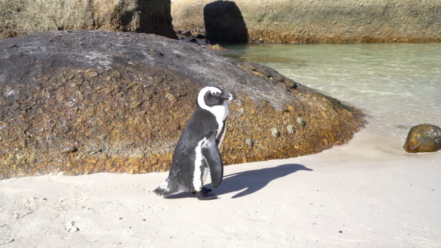 african penguin at boulders beach - boulder beach western cape province stock videos and b-roll footage