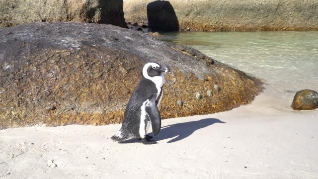 vídeos de stock, filmes e b-roll de de pinguins africanos em boulders beach - boulder rock