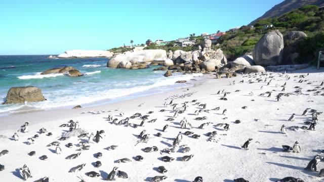 vídeos de stock, filmes e b-roll de colônia de pinguins africanos na praia, cidade do cabo, áfrica do sul - boulder rock