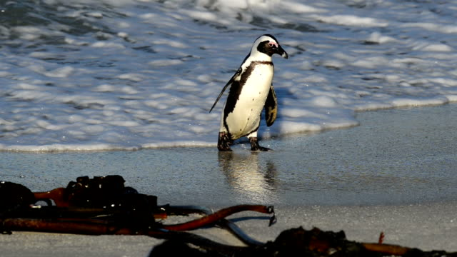african penguin in the waves - boulder beach western cape province stock videos and b-roll footage