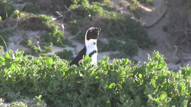 african penguin looking around behind a hedge - 動物の頭点の映像素材/bロール