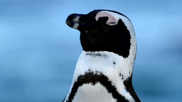 african penguin portrait - boulder beach western cape province stock videos and b-roll footage